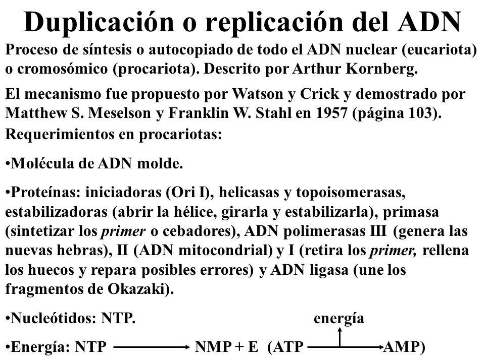 Duplicación o replicación del ADN Proceso de síntesis o autocopiado de todo el ADN nuclear (eucariota) o cromosómico (procariota). Descrito por Arthur