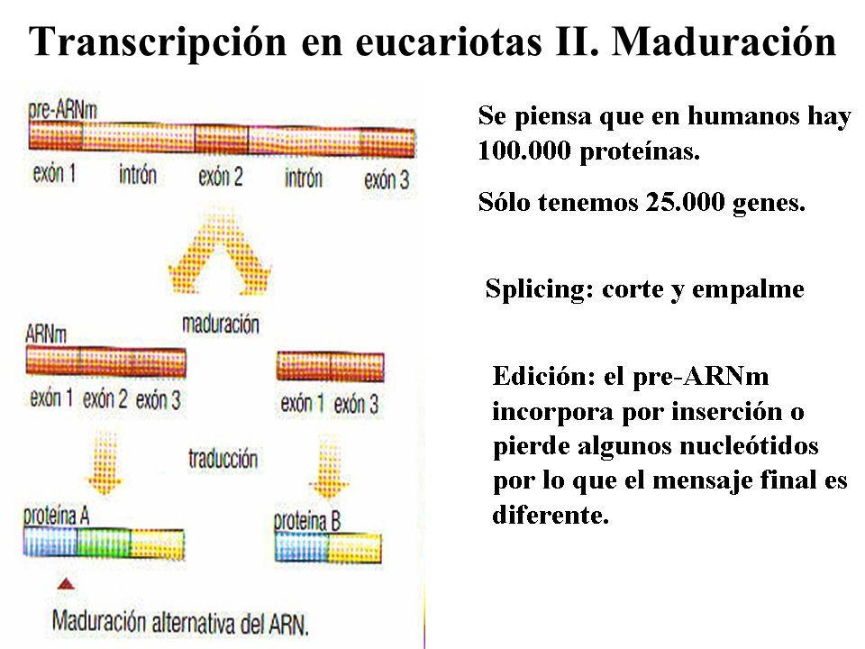 Transcripción en eucariotas II. Maduración