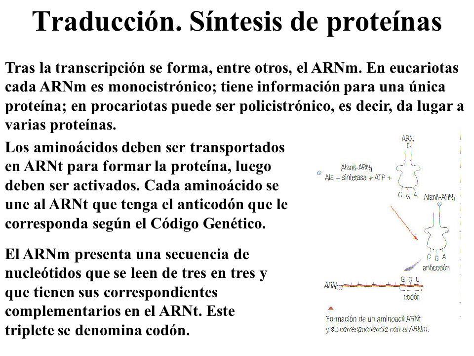 Traducción. Síntesis de proteínas Tras la transcripción se forma, entre otros, el ARNm. En eucariotas cada ARNm es monocistrónico; tiene información p