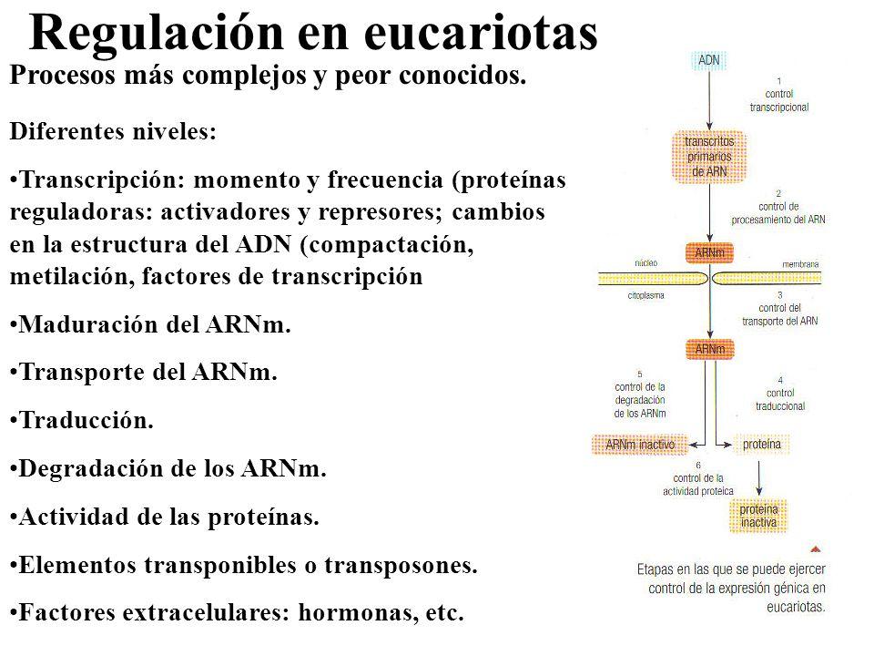 Regulación en eucariotas Procesos más complejos y peor conocidos. Diferentes niveles: Transcripción: momento y frecuencia (proteínas reguladoras: acti