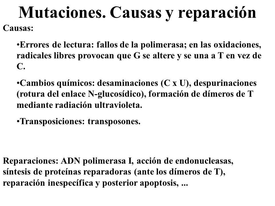 Mutaciones. Causas y reparación Causas: Errores de lectura: fallos de la polimerasa; en las oxidaciones, radicales libres provocan que G se altere y s