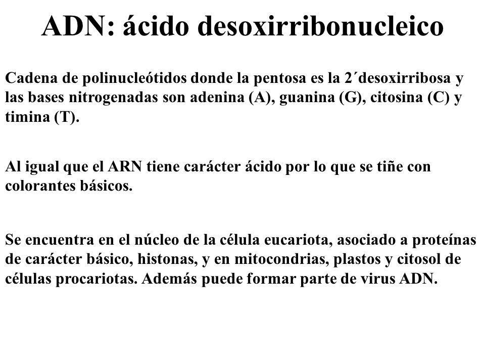 ADN: ácido desoxirribonucleico Cadena de polinucleótidos donde la pentosa es la 2´desoxirribosa y las bases nitrogenadas son adenina (A), guanina (G),