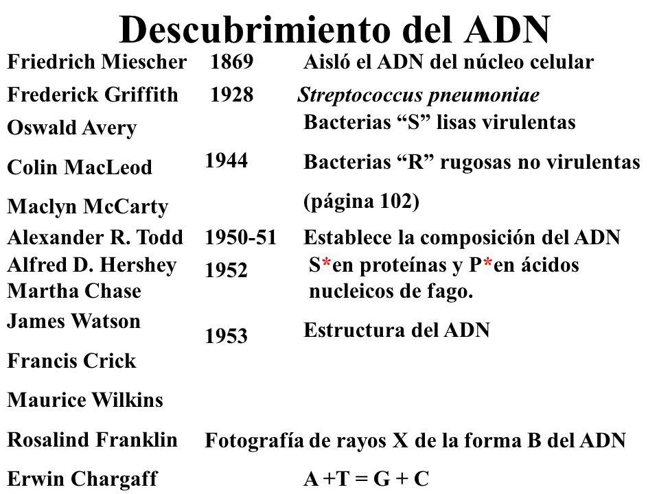 Descubrimiento del ADN Streptococcus pneumoniaeFrederick Griffith1928 Alfred D. Hershey Martha Chase S*en proteínas y P*en ácidos nucleicos de fago. 1