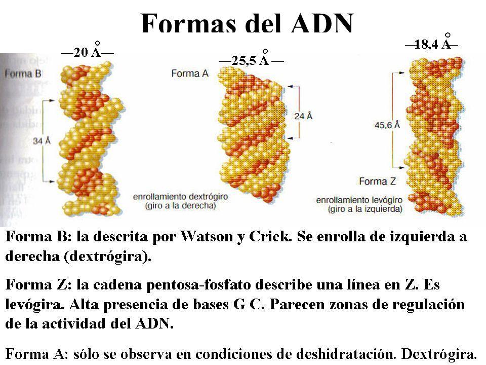 Formas del ADN