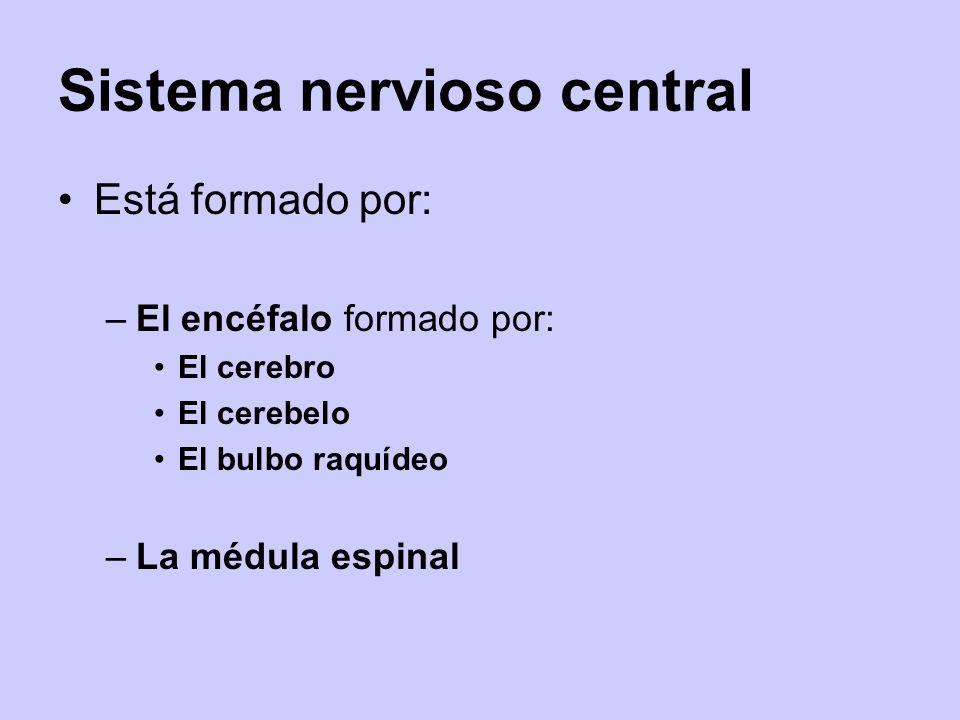 Sistema nervioso central Está formado por: –El encéfalo formado por: El cerebro El cerebelo El bulbo raquídeo –La médula espinal