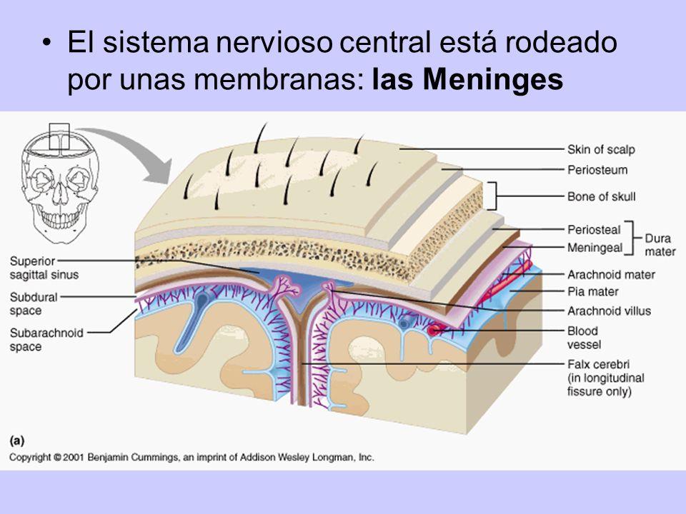 El sistema nervioso central está rodeado por unas membranas: las Meninges