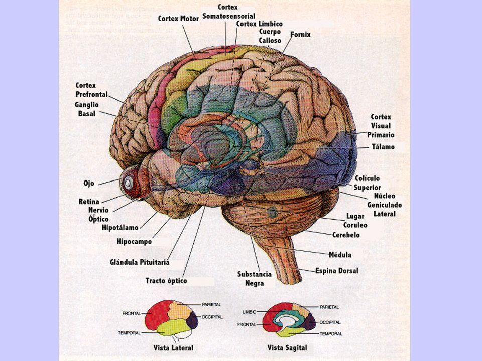 Cerebelo Está debajo del cerebro. Coordina los movimientos y nos permite mantener el equilibrio