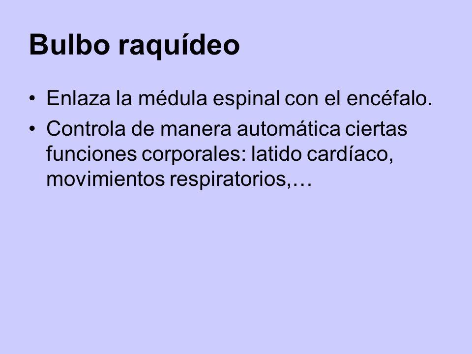 Bulbo raquídeo Enlaza la médula espinal con el encéfalo. Controla de manera automática ciertas funciones corporales: latido cardíaco, movimientos resp