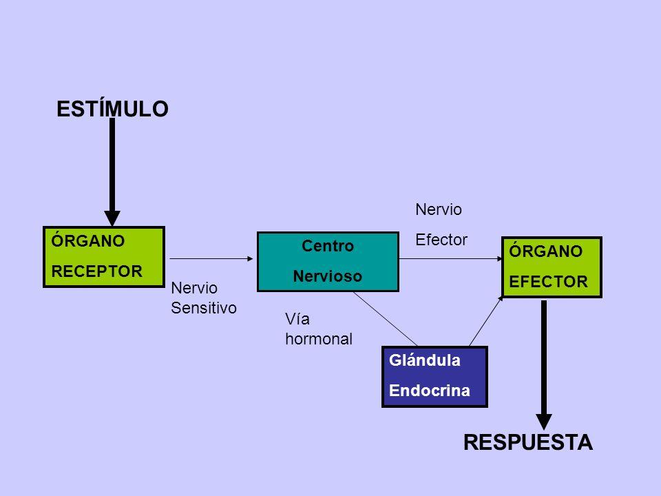 Centro Nervioso Nervio Sensitivo Nervio Efector ÓRGANO EFECTOR ÓRGANO RECEPTOR ESTÍMULO RESPUESTA Vía hormonal Glándula Endocrina