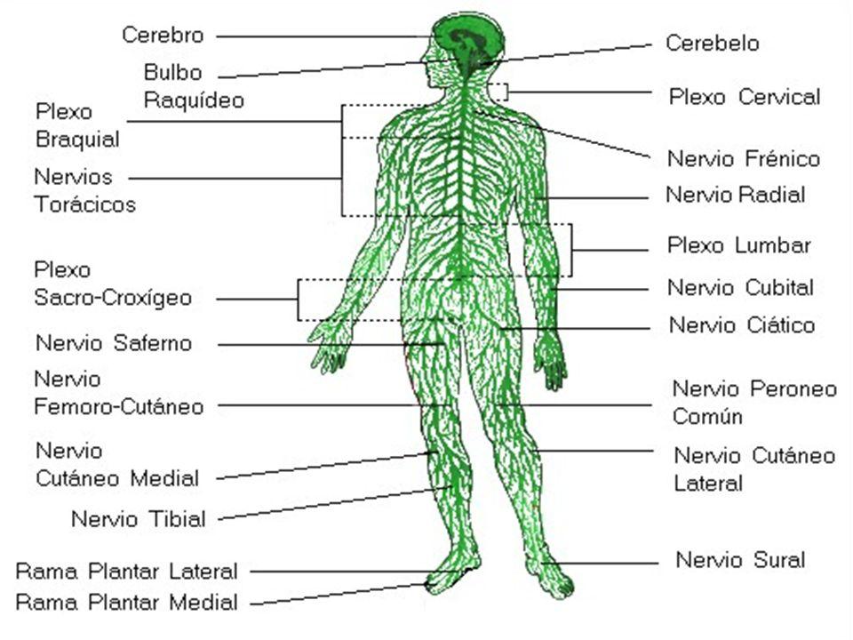 El sistema nervioso periférico se divide en: –Sistema nervioso somático: conecta los músculos esqueléticos al sistema nervioso central, Es responsable de los actos voluntarios –Sistema nervioso vegetativo o autónomo: conecta las vísceras (órganos internos) con el sistema nervioso central.