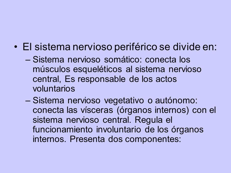 El sistema nervioso periférico se divide en: –Sistema nervioso somático: conecta los músculos esqueléticos al sistema nervioso central, Es responsable