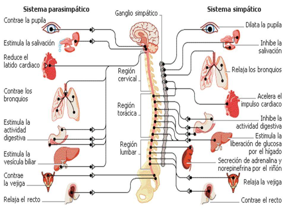ÓRGANOS RECEPTORES Son los encargados de recoger el estímulo: luz, sonido, sustancias químicas gaseosas, sustancias químicas líquidas, presión, temperatura, gravedad…y convertirlo en una señal nerviosa (de naturaleza eléctrica)