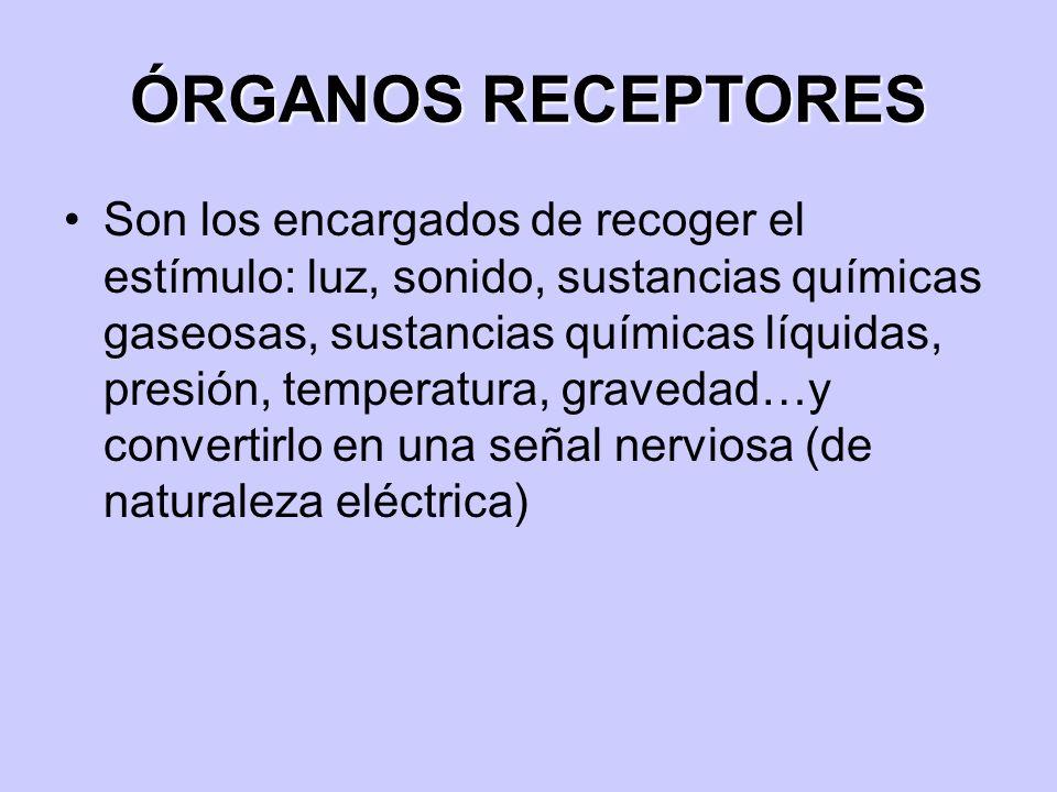 ÓRGANOS RECEPTORES Son los encargados de recoger el estímulo: luz, sonido, sustancias químicas gaseosas, sustancias químicas líquidas, presión, temper