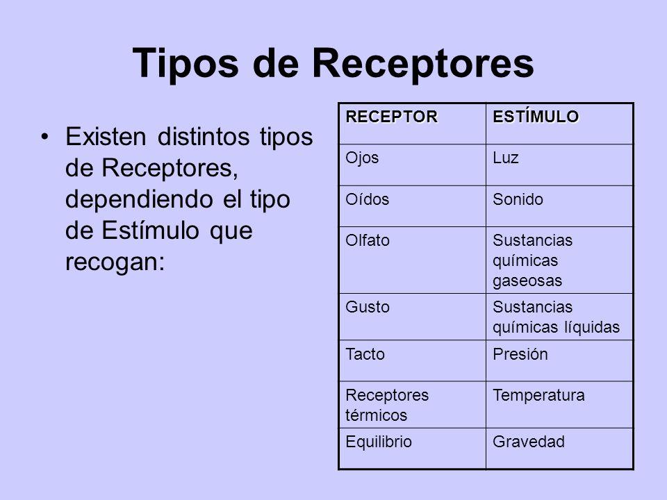 Tipos de Receptores Existen distintos tipos de Receptores, dependiendo el tipo de Estímulo que recogan: RECEPTORESTÍMULO OjosLuz OídosSonido OlfatoSus