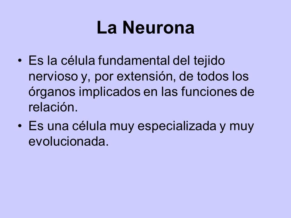 La Neurona Es la célula fundamental del tejido nervioso y, por extensión, de todos los órganos implicados en las funciones de relación. Es una célula