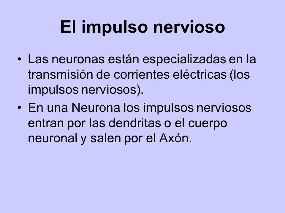 El impulso nervioso Las neuronas están especializadas en la transmisión de corrientes eléctricas (los impulsos nerviosos). En una Neurona los impulsos