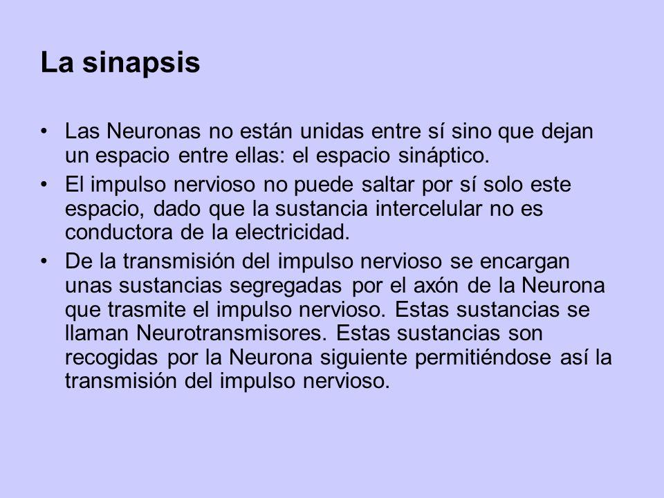La sinapsis Las Neuronas no están unidas entre sí sino que dejan un espacio entre ellas: el espacio sináptico. El impulso nervioso no puede saltar por