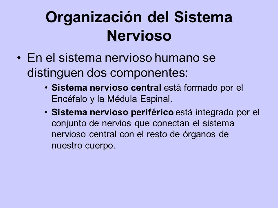 Organización del Sistema Nervioso En el sistema nervioso humano se distinguen dos componentes: Sistema nervioso central está formado por el Encéfalo y