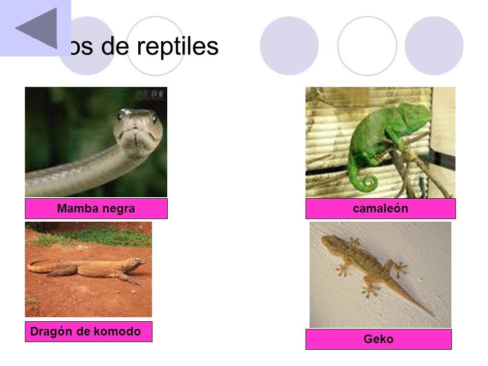 Fotos de reptiles Mamba negracamaleón Dragón de komodo Geko