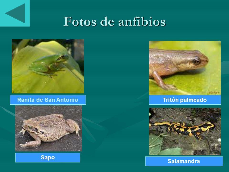 Fotos de anfibios Ranita de San AntonioTritón palmeado Sapo Salamandra