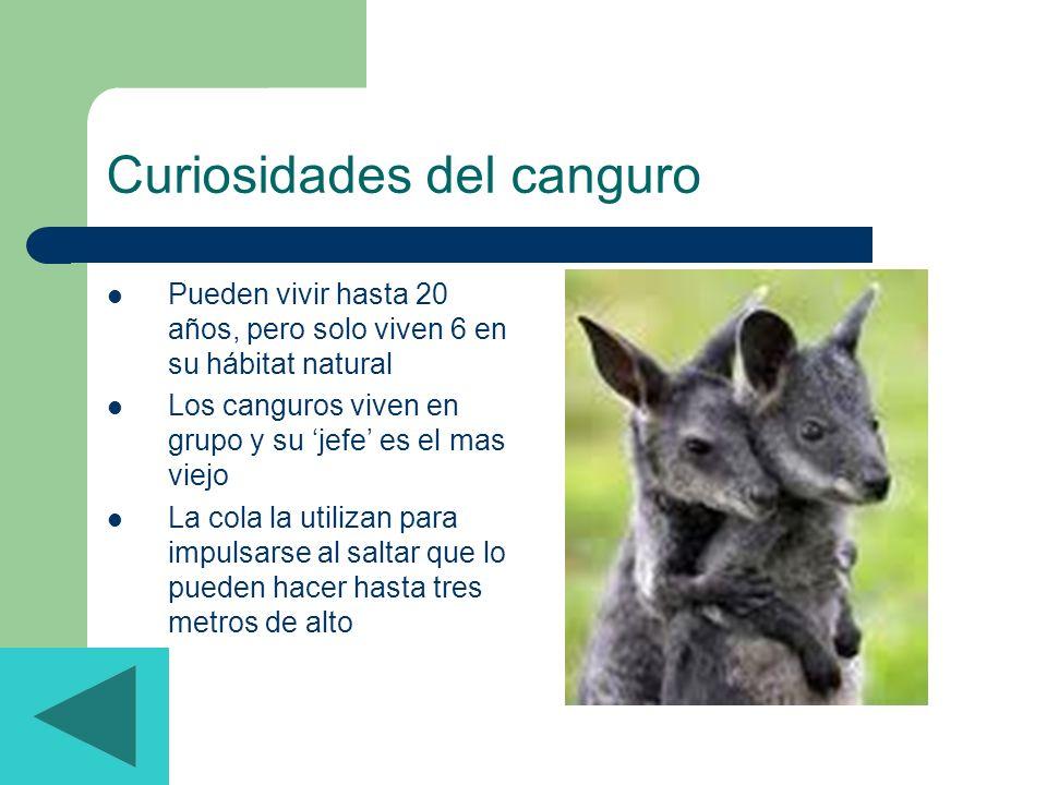 Curiosidades del canguro Pueden vivir hasta 20 años, pero solo viven 6 en su hábitat natural Los canguros viven en grupo y su jefe es el mas viejo La