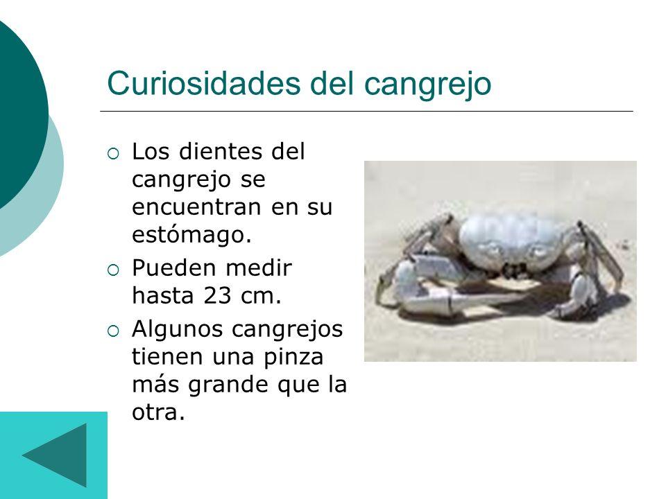 Curiosidades del cangrejo Los dientes del cangrejo se encuentran en su estómago. Pueden medir hasta 23 cm. Algunos cangrejos tienen una pinza más gran
