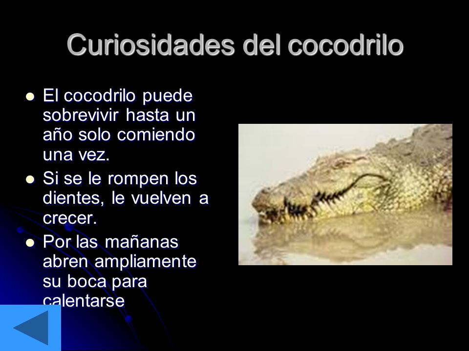 Curiosidades del cocodrilo El cocodrilo puede sobrevivir hasta un año solo comiendo una vez. Si se le rompen los dientes, le vuelven a crecer. Por las