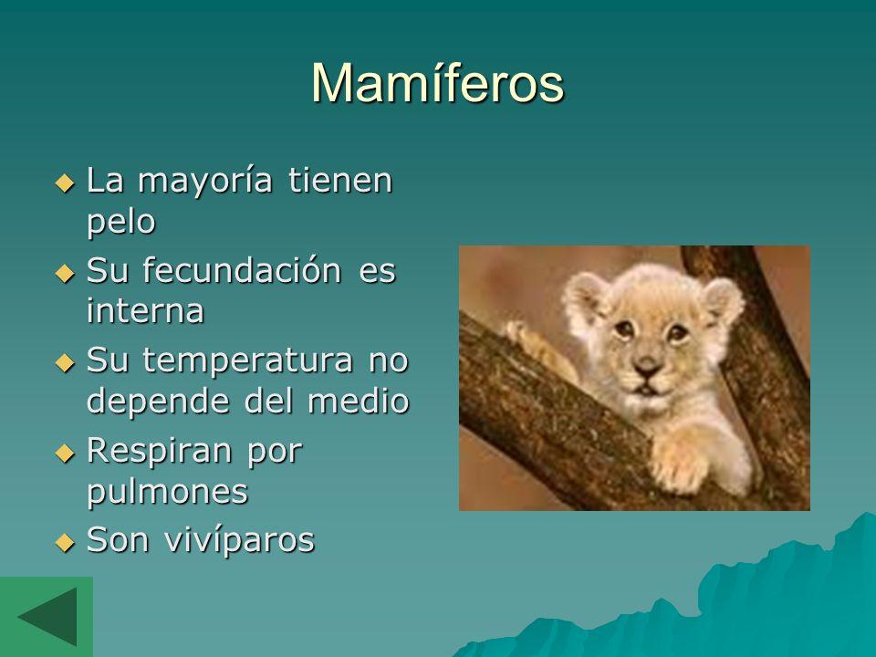 Mamíferos La mayoría tienen pelo Su fecundación es interna Su temperatura no depende del medio Respiran por pulmones Son vivíparos