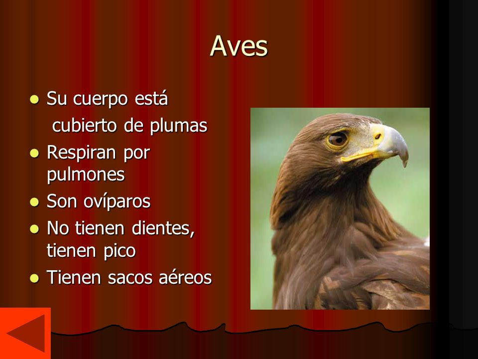 Aves Su cuerpo está cubierto de plumas Respiran por pulmones Son ovíparos No tienen dientes, tienen pico Tienen sacos aéreos