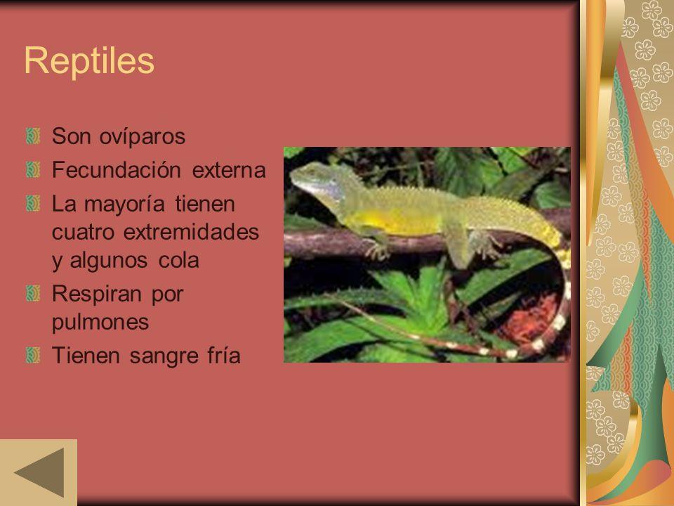 Reptiles Son ovíparos Fecundación externa La mayoría tienen cuatro extremidades y algunos cola Respiran por pulmones Tienen sangre fría