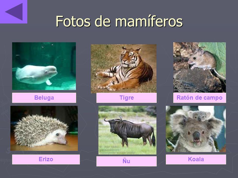 Fotos de mamíferos BelugaTigreRatón de campo Erizo Ñu Koala