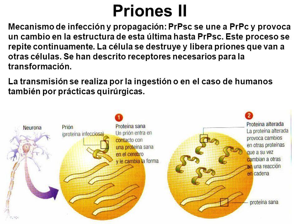 Priones II Mecanismo de infección y propagación: PrPsc se une a PrPc y provoca un cambio en la estructura de esta última hasta PrPsc. Este proceso se