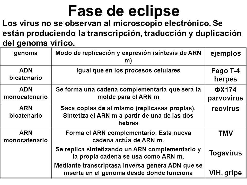 Fase de eclipse Los virus no se observan al microscopio electrónico. Se están produciendo la transcripción, traducción y duplicación del genoma vírico