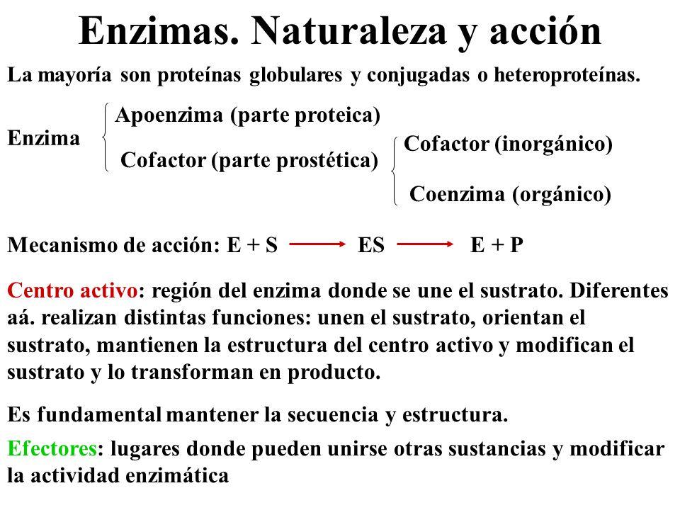 Enzimas. Naturaleza y acción La mayoría son proteínas globulares y conjugadas o heteroproteínas. Enzima Apoenzima (parte proteica) Cofactor (parte pro