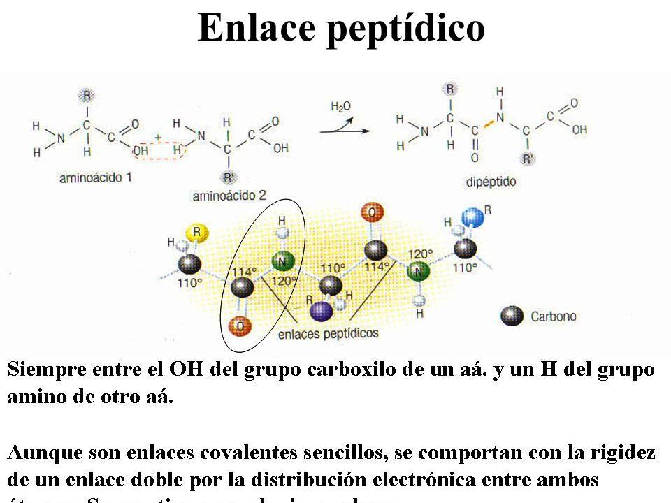 Oligopéptidos Moléculas formadas por un número de aminoácidos inferior a 100.