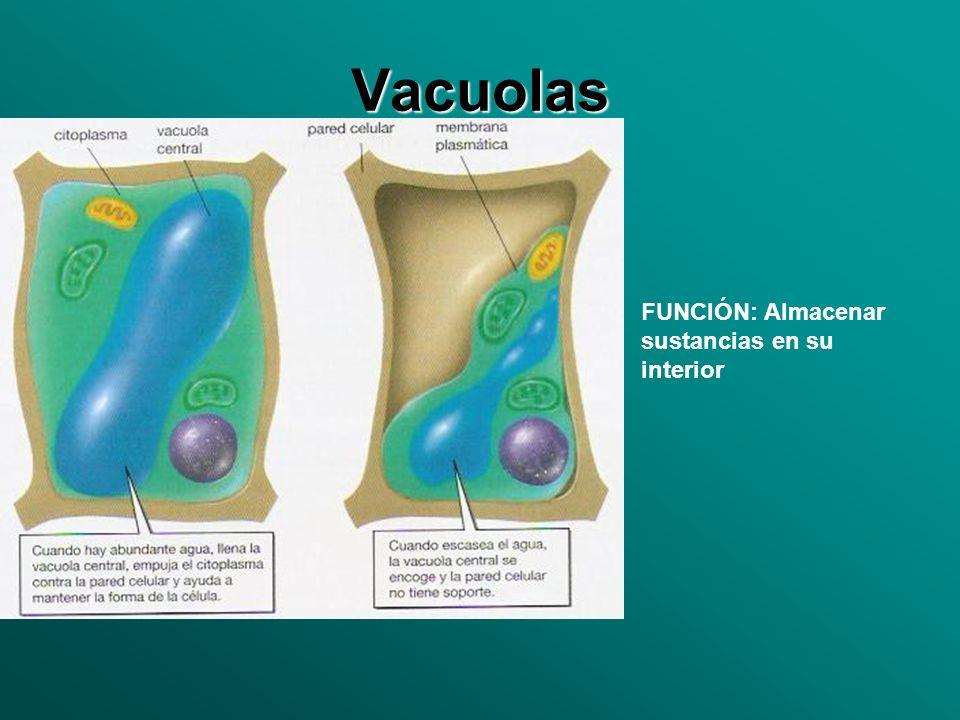 Vacuolas FUNCIÓN: Almacenar sustancias en su interior
