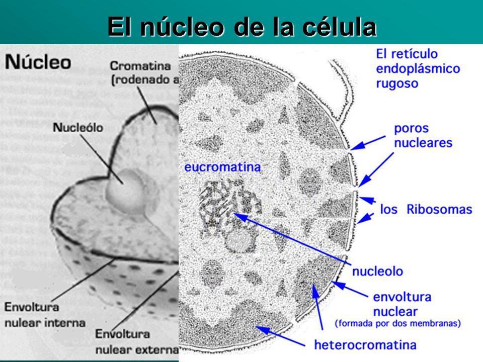 El núcleo de la célula
