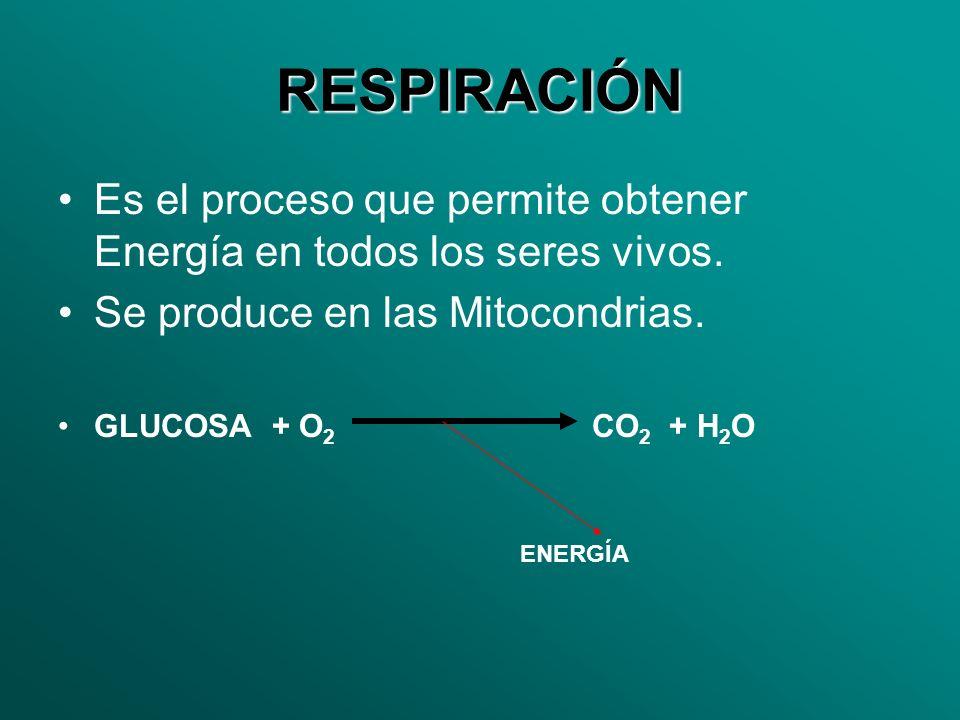 RESPIRACIÓN Es el proceso que permite obtener Energía en todos los seres vivos. Se produce en las Mitocondrias. GLUCOSA + O 2 CO 2 + H 2 O ENERGÍA