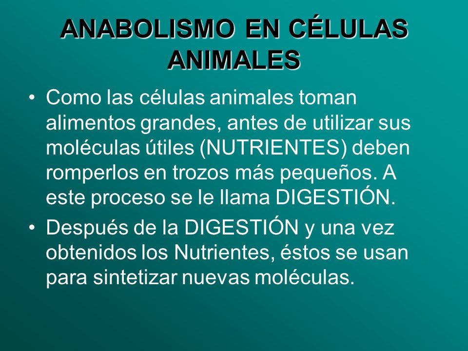 ANABOLISMO EN CÉLULAS ANIMALES Como las células animales toman alimentos grandes, antes de utilizar sus moléculas útiles (NUTRIENTES) deben romperlos