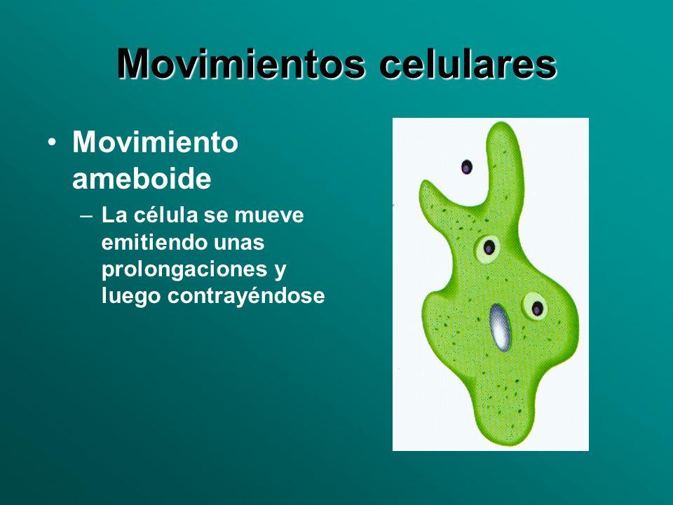 Movimientos celulares Movimiento ameboide –La célula se mueve emitiendo unas prolongaciones y luego contrayéndose