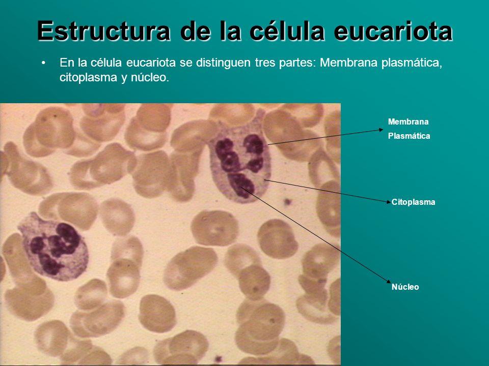 Estructura de la célula eucariota En la célula eucariota se distinguen tres partes: Membrana plasmática, citoplasma y núcleo. Membrana Plasmática Cito