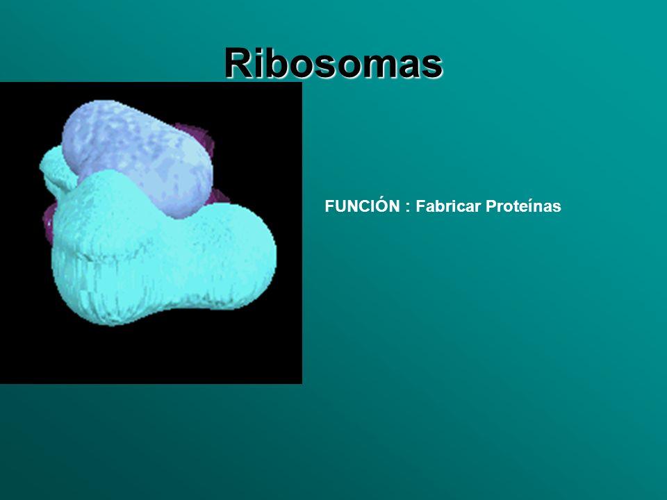 Ribosomas FUNCIÓN : Fabricar Proteínas