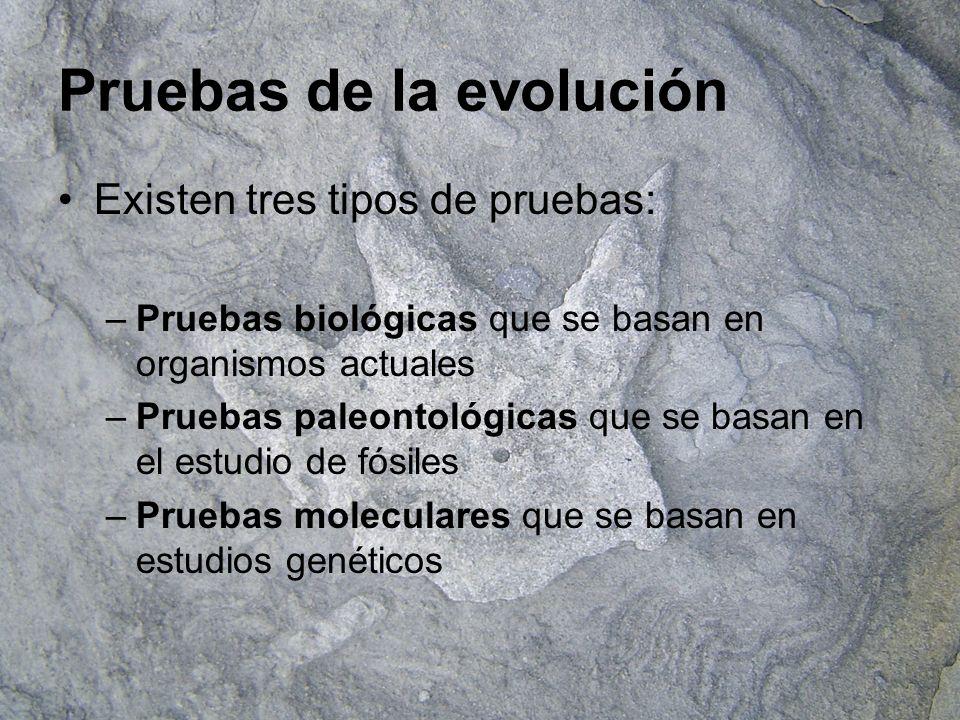 Pruebas biológicas Adaptación convergente: Órganos Análogos.
