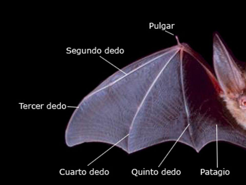 Pruebas biológicas Adaptación convergente: Órganos Análogos. –Distintos seres vivos (de distintos grupos y por lo tanto de distinto origen) presentan