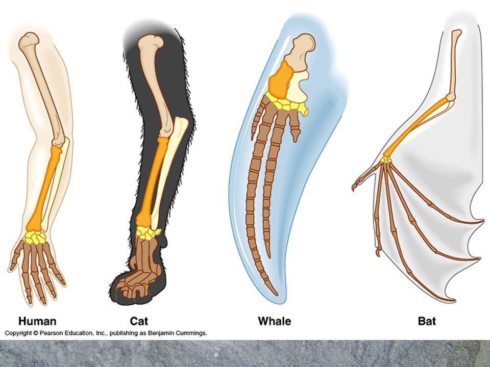 Adaptación divergente. Órganos homólogos –En el caso de organismos que teniendo un origen común y por lo tanto sus órganos presentan la misma estructu