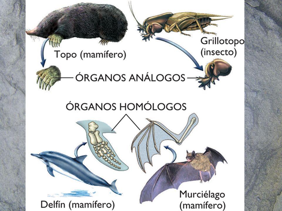 Órganos vestigiales –Son órganos que no tienen utilidad en la especie actual y que por lo tanto han sido reducidos a su mínima expresión pero que informan del origen de dicha especie.