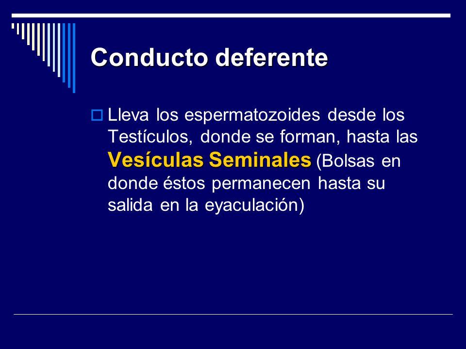 Conducto deferente Vesículas Seminales Lleva los espermatozoides desde los Testículos, donde se forman, hasta las Vesículas Seminales (Bolsas en donde