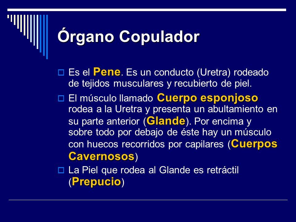 Órgano Copulador Pene Es el Pene. Es un conducto (Uretra) rodeado de tejidos musculares y recubierto de piel. Cuerpo esponjoso Glande Cuerpos Cavernos