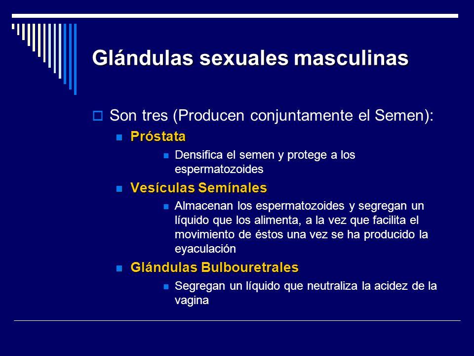 Glándulas sexuales masculinas Son tres (Producen conjuntamente el Semen): Próstata Próstata Densifica el semen y protege a los espermatozoides Vesícul