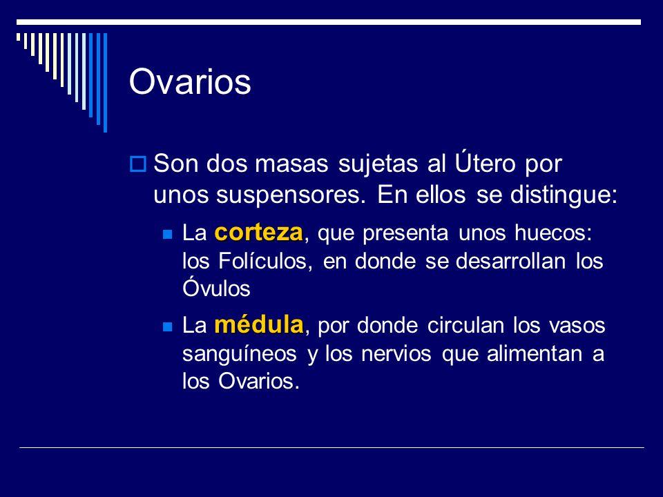 Ovarios Son dos masas sujetas al Útero por unos suspensores. En ellos se distingue: corteza La corteza, que presenta unos huecos: los Folículos, en do